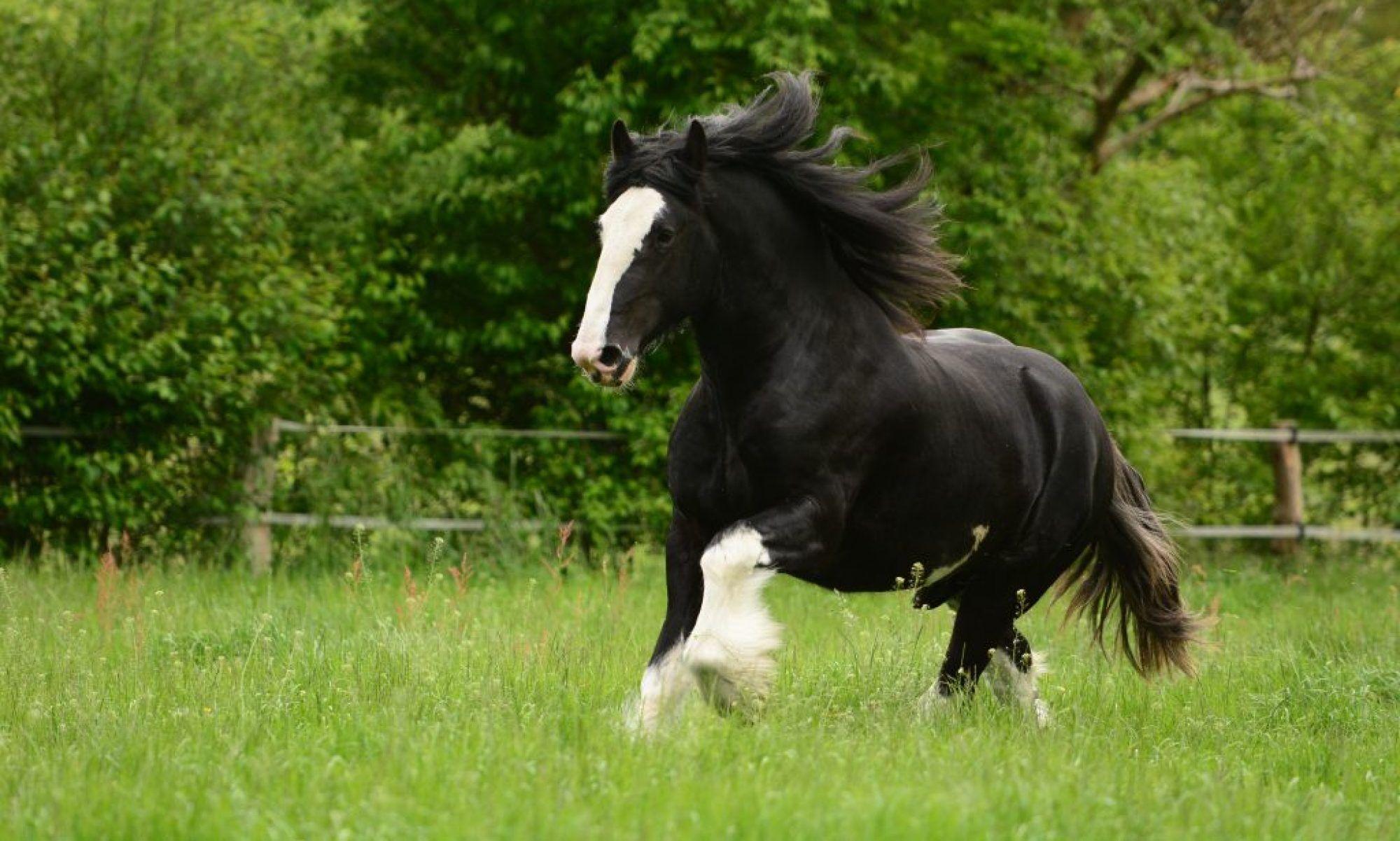 Die sanften Riesen - Shire Horse und Clydesdale