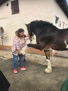 Vorführung der Physiotherapie an einem Shire Horse durch Sabine Dietrich.
