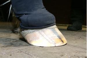 Barhufbearbeitung Trachten, 6 Monate später