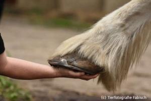 Shire Horse Huf auf einer Hand (c) Tierfotografie Fabisch