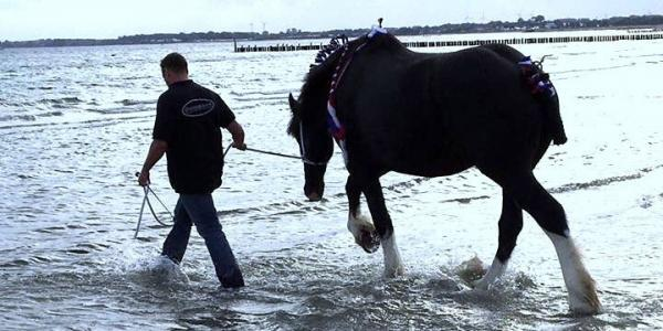 Shire Horse badet im Meer
