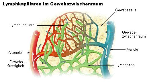 Kapillargeflecht von Venen, Artierien und Lyphgefäßen